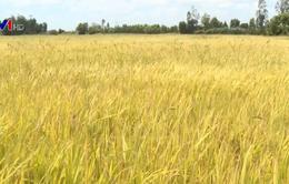 Nông dân lỗ nặng vì lúa giảm năng suất