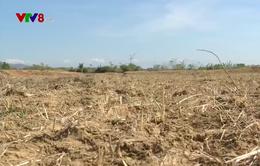 Ngưng sản xuất lúa, hàng trăm nông dân Ninh Thuận gặp khó khăn
