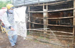 Quảng Trị: Khó khăn xử lý dịch lở mồm long móng