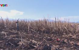 Nông dân trồng mía ở Kon Tum thấp thỏm lo cháy mía