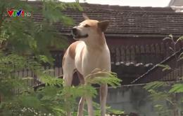 Cà Mau: Chỉ có khoảng 10% số chó được tiêm phòng dại