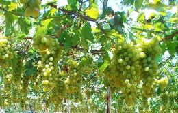 Du lịch dưới vườn nho Ninh Thuận - Sự ngọt ngào giữa nắng