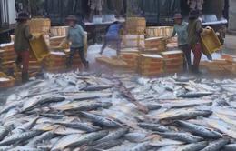 """Quảng Ngãi: Ngư dân trúng mẻ cá bẹ xước """"khủng"""" trị giá tỷ đồng"""
