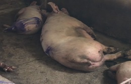 Hà Tĩnh: Lợn nghi nhiễm bệnh vẫn được mổ bán ra thị trường