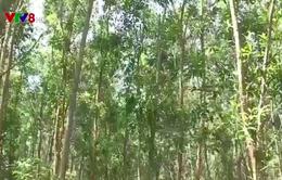 Quảng Ngãi - Người dân hưởng lợi từ giao khoán rừng 135