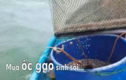 """Chuyện biển, chuyện người """" Mùa ốc gạo sinh sôi"""" (19h30, thứ ba, 20/3)"""
