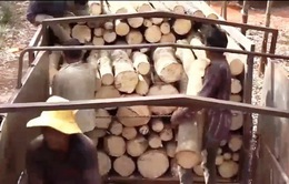 Giá tăng, người dân phá cao su bán gỗ