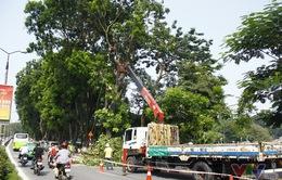 TP.HCM cắt tỉa hàng loạt cây cổ thụ