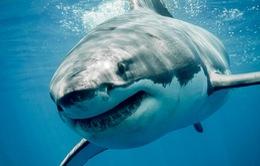 Nổi tiếng là to lớn nhưng liệu cá mập trắng có gây nguy hiểm cho con người?