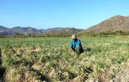 Ninh Thuận: Cắt nước, người dân phải ngừng sản xuất, vườn cây khô héo