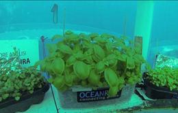 Dự án trồng rau dưới biển đối phó với biến đổi khí hậu