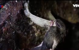 Những điều chưa biết về chim yến đảo Khánh Hòa