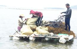 Khánh Hòa: Cảnh báo khai thác rong biển thiếu kiểm soát