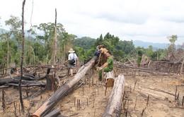 Quảng Nam: Rừng bị phá, nhiều cán bộ kiểm lâm bị kỷ luật