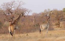 Một nửa loài thú châu Phi có nguy cơ tuyệt chủng