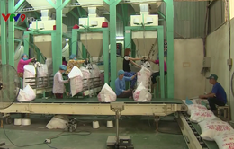 Xuất khẩu gạo tăng trưởng đột biến