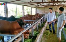 Hà Nam đẩy mạnh phát triển bò sinh sản, bò thịt chất lượng cao