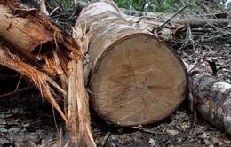 Hà Tĩnh: Tạm đình chỉ chức vụ Trưởng ban Quản lý rừng phòng hộ Sông Tiêm