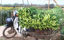 Hoa loa kèn đầu mùa: Năng suất thấp, rớt giá tại ruộng