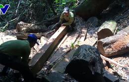Rừng Lim quý hiếm ở Quảng Nam bị tàn phá nghiêm trọng