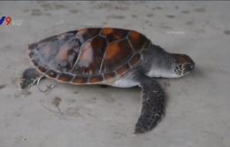 Bắt được rùa biển quý hiếm có vòng trên mai