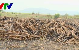 Nhà máy đường tại Phú Yên cam kết sẽ mua hết mía cho nông dân