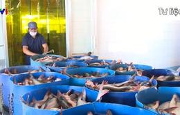 VASEP: Sẽ nộp đơn kiện chống thuế bán phá giá cá tra trong tuần này