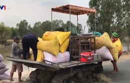 ĐBSCL: Giá lúa tăng, doanh nghiệp thận trọng mua vào