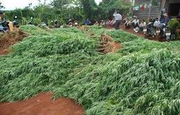 Đắk Nông: Nhổ bỏ gần 7.300 cây cần sa trồng trái phép