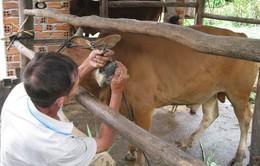 Phú Yên bùng phát dịch lở mồm long móng trên gia súc
