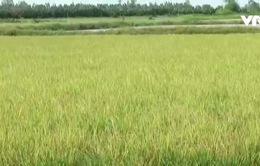 Bạc Liêu: Hàng chục ha lúa lai không trổ bông