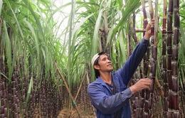 Ngành mía đường gặp khó khi Hiệp định thương mại hàng hóa ASEAN có hiệu lực