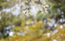 Cùng ngắm hoa sưa nở trắng trời tại Hà Nội