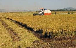 Sản lượng vụ Đông Xuân ước đạt trên 11 triệu tấn