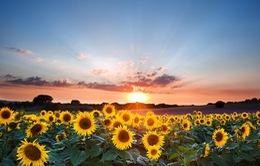 Hướng dương: loài hoa đẹp chữa nhiều bệnh