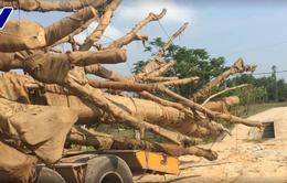 Phạt 750.000 đồng và trả lại cây đa sộp thứ 3 bị bắt giữ ở Thừa Thiên - Huế cho chủ sở hữu