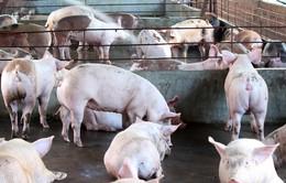 Làm giàu từ mô hình chăn nuôi lợn gia công