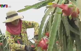 Trang trại cây ăn trái công nghệ cao của Việt Nam ở Campuchia