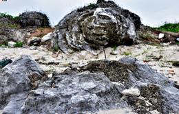 Độc đáo san hô cổ Lý Sơn