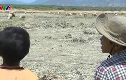 Ninh Thuận: Nỗ lực cứu đàn gia súc trong nắng hạn