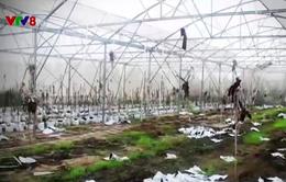 Nhiều dự án nông nghiệp thất bại tại miền Trung