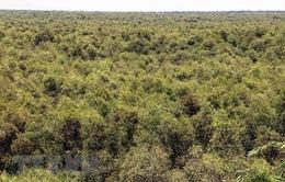 Hàng ngàn ha rừng tràm U Minh Hạ đối mặt với nguy cơ cháy cực kỳ nguy hiểm