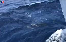 [Clip] Đàn cá heo nô đùa bơi theo tàu ra đảo Trường Sa