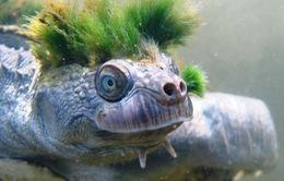 Rùa tóc xanh đối mặt với nguy cơ tuyệt chủng