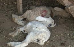 Những đàn cừu chờ chết ở vùng tâm hạn của Ninh Thuận