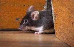 Cảnh báo nạn chuột mang mầm bệnh và chủng virus mới tại New York