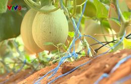 Bình Thuận phát triển nông nghiệp công nghệ cao trên vùng đất khô cằn