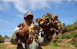 Virus lạ tấn công vườn rau gây thiệt hại nặng cho nông dân Đà Lạt
