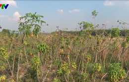 Hàng ngàn ha mỳ tại Kon Tum nhiễm bệnh chổi rồng, nông dân không có nguồn giống mới