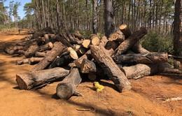 Khởi tố cán bộ kiểm lâm địa bàn trong vụ phá rừng thông cộng đồng ở Tuy Đức, Đắk Nông